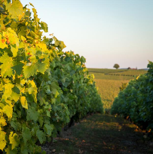 vignoble Grande Champagne